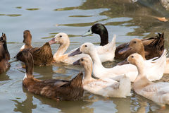 White and brown Ducks masses swiming on lagoon Royalty Free Stock Image