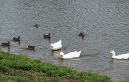 White and Brown ducks swimming in the pond.  Stock Photo