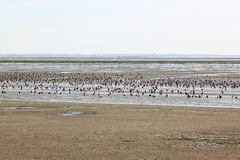 White and brown ducks in Waddenzee, Ameland, Holland. The Wadden Sea is the largest unbroken system of intertidal sand and mud flats in the world. It is a large Royalty Free Stock Images