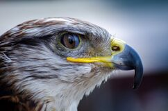 White and Brown Eagle Portrait Stock Photography