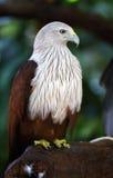 Falcon in the wild Stock Photos