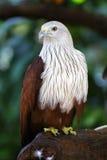 Falcon in the wild Stock Image