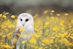 White and Brown Feathered Owl Standing on Yellow Petaled Flower during Daytime Stock Image