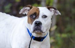 Bulldog mixed breed dog Stock Photography