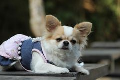 Dog sitting on the table. White and brown female Chihuahua dog sitting on the table Stock Images