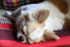 Dog sleeping on seat pad. White and brown female Chihuahua dog sleeping on seat pad Royalty Free Stock Image