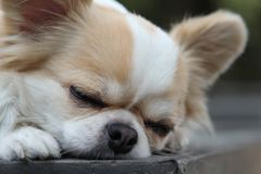 Dog sleeping on the table. White and brown female Chihuahua dog sleeping on the table Royalty Free Stock Photography