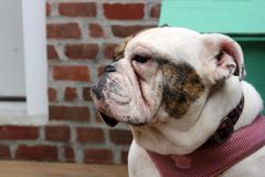 White and brown female English Bulldog wearing a pink collar royalty free stock photo