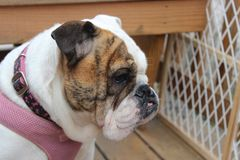 White and brown female English Bulldog wearing a pink collar stock photos