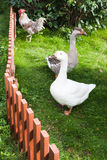 White and brown geese in green Stock Images