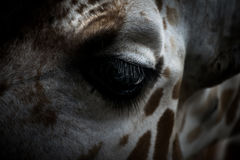 White and Brown Giraffe Head Stock Photos