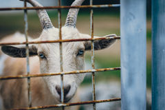 White and Brown Goat Royalty Free Stock Images