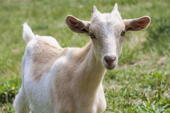 White and brown goat. White and brown little female goat with horns looking camera Royalty Free Stock Photo