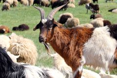 White and brown goat portrait. Close up and head of mammal, farming animal. Herd of animals in outdoor. Goats on pasture. Farm an. Imals eating grass Stock Photos