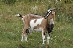 White and brown goat portrait. royalty free stock photo
