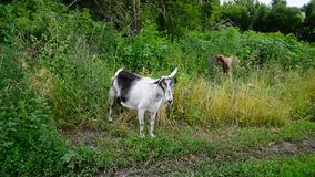 White and brown goat in rural outback in Russia stock video footage