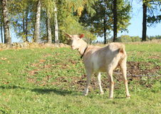 White and brown goat Royalty Free Stock Photos