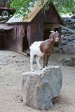 White and Brown Goat standing on Rock Royalty Free Stock Image