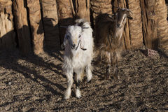 White and brown goats in a pen. Stock Photos