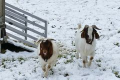 White and brown goats in snowy landscape looking at the camera royalty free stock photo