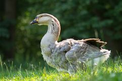 White and brown goose in green Royalty Free Stock Photos