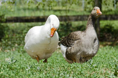 White and a brown goose Stock Image