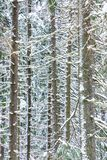 The white, brown and green beautiful winter background of the branches and the trunks of the fir, pine or spruce tree stock photography