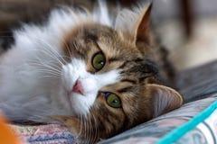 Green-eyed cat lying on the sofa stock photos