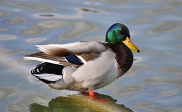White Brown and Green Male Mallard Duck Stock Photo
