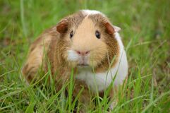 White and Brown Guinea Pig on Ground Royalty Free Stock Image