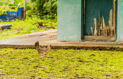 White and brown hen standing on a lawn Royalty Free Stock Images