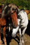 White and brown horse Royalty Free Stock Photos