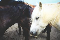 White and Brown Horse on Brown Dirt Surface Royalty Free Stock Photography