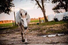 White and Brown Horse on Brown Mud Stock Photo