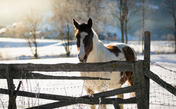 White and brown horse at field covered by snow Stock Image