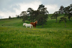 White and brown horse on green field Royalty Free Stock Images