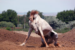 White and Brown Horse on its Knees Royalty Free Stock Photography
