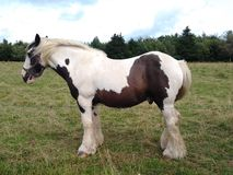 White and Brown horse in a meadow. Picture a white and brown horse in a meadow Stock Photo