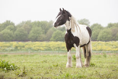 White and brown horse in meadow Stock Photo
