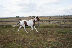A white and brown horse runs along the fence on the farm stock photography