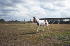 A white-and-brown horse runs in the pen with a fence on the grass royalty free stock image