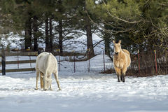 White and brown horse in snowy field. Royalty Free Stock Photo