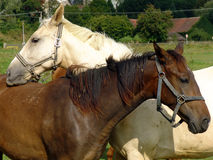 White and brown Horses. In the green Nature Royalty Free Stock Photography