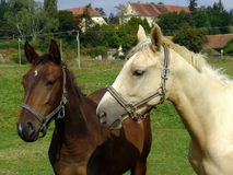 White and brown Horses. In the green Nature Stock Photography