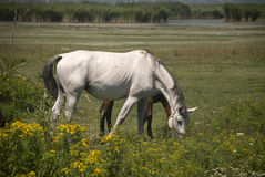 White and brown horses. On a meadow Stock Images