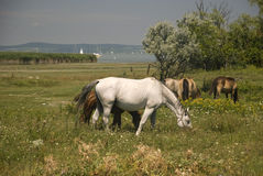White and brown horses. On a meadow Royalty Free Stock Images