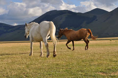 White and brown horses in the Apennines landscapes Stock Images