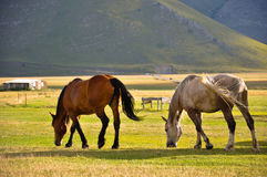 White and brown horses in the Apennines landscapes Stock Photography