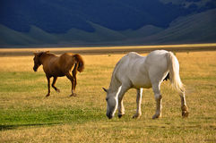 White and brown horses in the Apennines landscapes Royalty Free Stock Photo