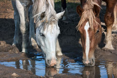 White and brown horses drinks. Water from a puddle during droughts Stock Images